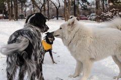 Hunde, die im Schnee spielen Lizenzfreies Stockfoto