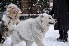 Hunde, die im Schnee spielen Stockbild