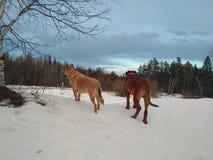 Hunde, die im Schnee stehen Stockfotografie
