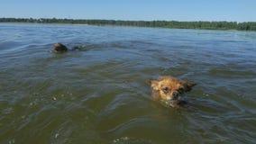Hunde, die im Wasser schwimmen stock video footage