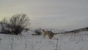 Hunde, die im Winter spielen stock footage