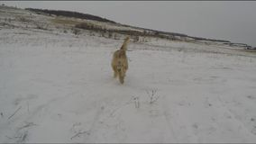 Hunde, die im Winter spielen stock video footage