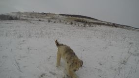Hunde, die im Winter spielen stock video