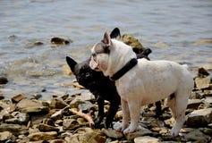 Hunde, die in Meer spielen stockfotografie