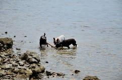Hunde, die in Meer spielen lizenzfreie stockbilder