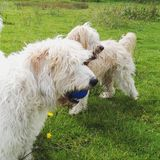 Hunde, die mit einem Ball spielen Stockbilder