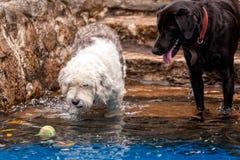 Hunde, die mit einem Tennisball spielen stockfotos