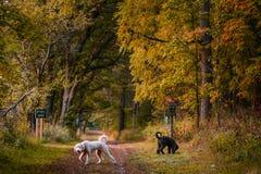 Hunde, die am Nationalpark in der Höchstfall-Farbe spielen Lizenzfreie Stockfotografie