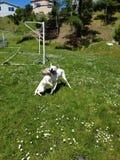 Hunde, die am Park spielen lizenzfreie stockfotos