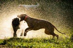 Hunde, die am Parkherausspritzen spielen Lizenzfreie Stockbilder
