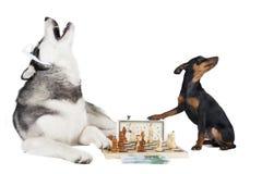 Hunde, die Schach spielen Stockbilder