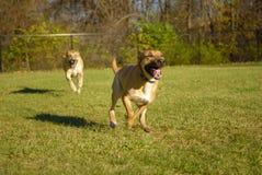 Hunde, die sich jagen Stockfotografie