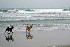 Hunde, die am Strand (guter Hafen-Strand, Gloucester, Massachusetts spielen, USA/am 15. Februar 2014) Stockbild