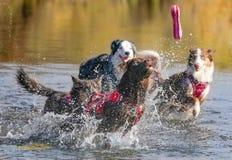 Hunde, die in Wasser laufen und spielen Stockbild