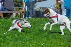 Hunde, die zusammen im Gras spielen Stockbild
