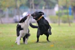 Hunde, die zusammen spielen Stockbild