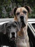 Hunde am Fenster Stockbild