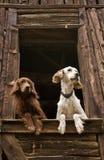 Hunde am Fenster Lizenzfreie Stockfotos