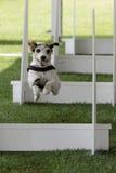 Hunde- flyball Stockfotografie