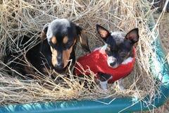Hunde im Heu-Lastwagen Lizenzfreies Stockfoto