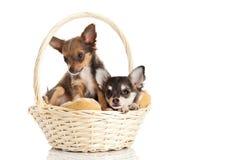 Hunde im Korb auf weißem Hintergrund Stockbilder