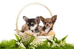Hunde im Korb, der auf weißem Hintergrund lokalisiert wird, entspringen Stockbilder