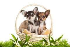 Hunde im Korb, der auf weißem Hintergrund lokalisiert wird, entspringen Lizenzfreie Stockfotografie