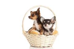 Hunde im Korb lokalisiert auf weißem Hintergrund Stockfoto
