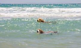 Hunde im Meer Stockfotos