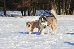 Hunde im Schnee Stockfoto