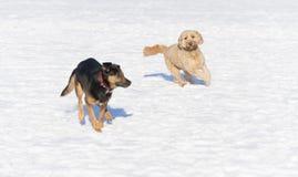 Hunde im Schnee Stockbilder