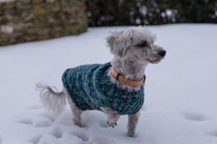 Hunde im Schnee mit Hundemantel Lizenzfreies Stockfoto