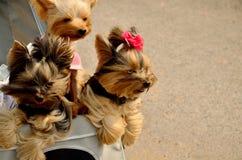 Hunde im Wagen Lizenzfreies Stockbild