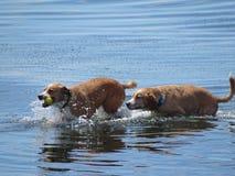 Hunde im Wasser lizenzfreie stockfotos