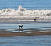 Hunde im Wasser am Strand lizenzfreies stockbild