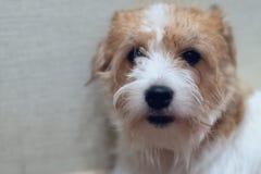 Hunde-Jack Rassel Terrier-Sitzen lizenzfreie stockfotografie
