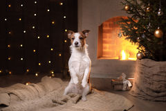 Hunde-Jack Russell Terrier Christmas-Jahreszeit 2017, neues Jahr Stockfotografie