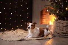 Hunde-Jack Russell Terrier Christmas-Jahreszeit 2017, neues Jahr Lizenzfreie Stockfotografie