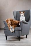 Hunde Jack Russell Terrier und Hund Nova Scotia Duck Tolling Retriever Lizenzfreie Stockfotografie