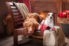 Hunde Jack Russell Terrier und Hunde-Nova Scotia Duck Tolling Retriever-Porträt verfolgen das Lügen auf einem Stuhl im Studio Stockfoto
