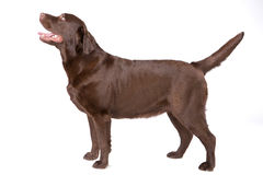 Hunde-Labrador-Braun auf weißem Hintergrund Lizenzfreie Stockfotos