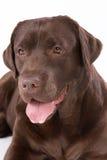 Hunde-Labrador-Braun auf weißem Hintergrund Stockfoto