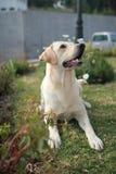 Hunde-Labrador-Niederlegung Stockbilder