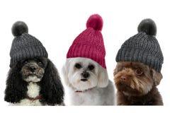 Hunde mit bobble Hut Lizenzfreie Stockfotos