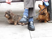 Hunde mit dem Meister stockfotos