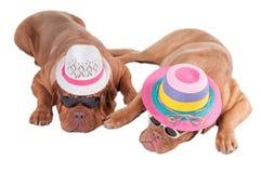 Hunde mit Hüten Lizenzfreie Stockfotografie