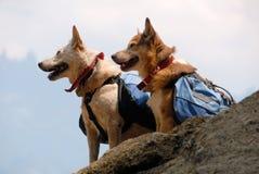 Hunde mit Rucksäcken Stockfoto