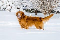 Hunde mit Schnee auf Gesicht stockfotos