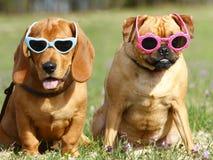 Hunde mit Sonnenbrillen Stockbild