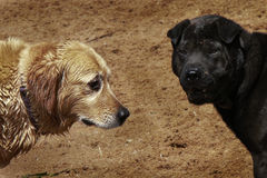 Hunde nach Spiel lizenzfreie stockbilder